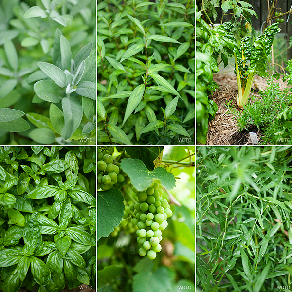 Just a view of Niki's backyard fresh produce, from clockwise: sage, vietnamese mint, silver beet, basil, grapes!!, marjoram